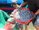 Ngư dân bất ngờ trúng đậm cá cơm trên Vịnh Nha Trang