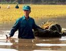 Bộ đội ngâm mình trong nước giúp dân gặt lúa chạy lụt