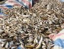 Vụ cá chết trên sông Bưởi: Đã có kết quả kiểm tra mẫu nước