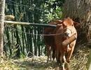 Thanh Hóa: Bùng phát dịch lở mồm long móng