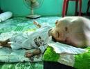 Khốn khổ cuộc sống của bé 14 tháng tuổi có đầu to gấp bốn lần cơ thể