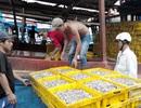 Phú Quốc chỉ cho phép tồn tại nước mắm sản xuất theo cách truyền thống