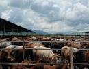 Thu hồi dự án nuôi bò nghìn tỷ của Hoàng Anh Gia Lai