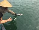 Cá chết hàng loạt tại biển Vũng Áng: Chưa phát hiện vi rút gây bệnh