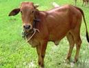 Hai con nghiện từ TPHCM về Long An đột nhập nhà dân trộm bò