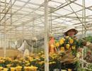 Cận rằm tháng 7, giá hoa cúc Đà Lạt tăng vọt