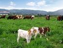 Trang trại bò sữa organic theo tiêu chuẩn Châu Âu đầu tiên tại Việt Nam