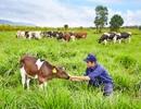 Trang trại bò sữa đầu tiên của Việt Nam đạt Trang trại Organic Chuẩn Châu Âu