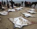 Bí ẩn hiện tượng cá đuối chết hàng loạt trên bờ biển Gaza