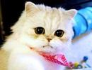"""Ngắm chú mèo đáng yêu từng gây """"bão mạng"""" Trung Quốc"""
