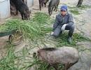 Học xong đại học về quê nuôi lợn rừng!