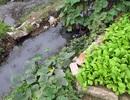"""Hà Nội: Ruộng rau lớn xanh mướt """"nhờ"""" nước thải đen kịt, bốc mùi"""