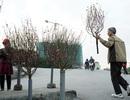 Chợ hoa Quảng An nhộn nhịp bán đào Tết