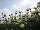 Hà Nội: Tinh khôi mùa hoa cúc họa mi