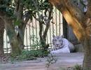Hổ trắng trong khu sinh thái cắn đứt lìa cánh tay nữ du khách