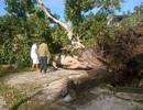 Cây cổ thụ gần 300 tuổi bị mưa gió quật ngã