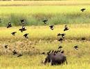 Vũ điệu chim sáo trên ruộng ngày mùa