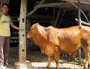 Sẽ chi hơn 6.254 tỷ đồng phát triển đàn bò thịt chất lượng cao