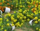 Gió giật bất thường, hoa Tết tan tác