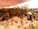 Giá dừa tăng cao, xứ dừa Tam Quan hồi sinh trở lại