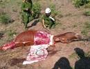 Lập chuyên án phá băng trộm bò dã man, chặt lấy đùi