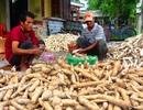 Bình Định: Giá mì lao dốc, nông dân làm công cốc
