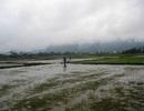 Hàng nghìn hecta lúa chết do rét đậm, rét hại
