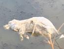 Lợn chết được vứt đầy đồng