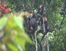 Phát hiện một số loài linh trưởng tại khu vực rừng Động Châu - Khe nước trong