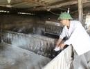 Tiêu hủy gần 1.600 con lợn bị dịch tai xanh