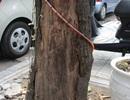 """Hà Nội: Cây chết khô 2 năm vẫn """"nghễu nghện"""" trên phố"""