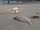 """Lập tổ công tác đặc biệt """"truy"""" nguyên nhân cá chết trắng biển"""