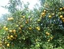 Hòa Bình áp dụng nhiều kỹ thuật hiện đại vào sản xuất cam, rau an toàn