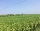 Nông dân thu lợi lớn từ cánh đồng mẫu lớn