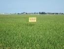 Sản xuất lúa theo mô hình cánh đồng mẫu lớn
