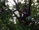 Hà Nội: Mưu sinh bằng cách... treo mình lơ lửng trên ngọn cây