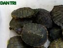 Hà Nội: Bán rùa độc làm phóng sinh ngay trước cổng chùa