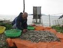 Thu tiền tỷ nhờ nuôi ngao cát pha bùn
