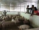 Thu bạc tỷ từ trang trại chăn nuôi tổng hợp