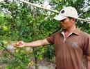 Thiệt hại hàng trăm triệu đồng sau khi phun phân bón lên vườn quýt