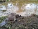 Phát hiện voi rừng nằm chết sát bờ ao
