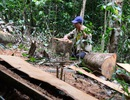 Hàng ngàn héc ta rừng bị phá hoại và lấn chiếm tại Đắk Lắk