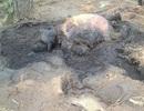Phát hiện xác voi con đang phân hủy trong rừng
