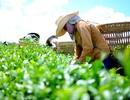 Hàng ngàn hộ dân trồng chè điêu đứng vì không có người mua