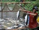 Cá tra Việt Nam vẫn chưa có thương hiệu trên thị trường thế giới