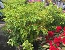 """Độc, lạ kiểng đu đủ, cà chua, ớt, khế… """"đọ dáng"""" trong hội chợ hoa Xuân"""