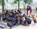 Thu hàng trăm triệu đồng mỗi năm từ nuôi gà thả vườn