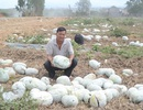 Nông dân chạy đôn chạy đáo tìm thương lái đến mua nông sản