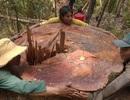 Để mất rừng, giám đốc lâm trường tự nhận kỷ luật cảnh cáo