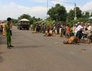 Nông dân đau xót nhìn 3 con bò bị xe tông chết